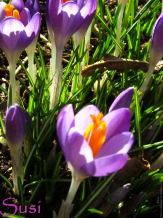 Frühling Krokusse Lila 2014
