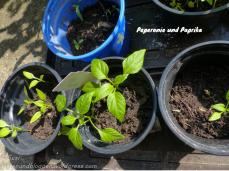 Paprika Peperonie