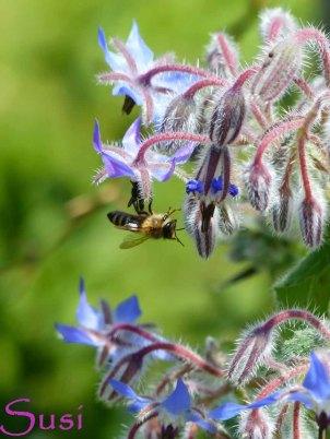 Farben im Juli Biene auf Borretsch