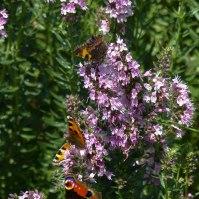 Schmetterlinge auf Ysop