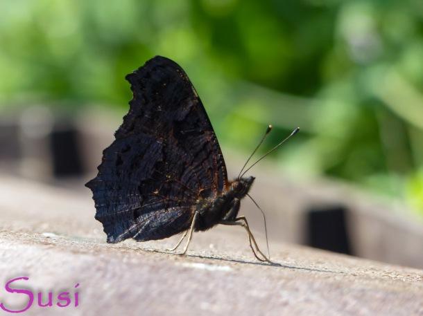 Schmetterlinge im September