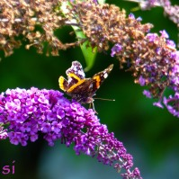 Schmetterling auf Schmetterlingsflieder