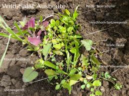 Wild-Salat Ausbeute
