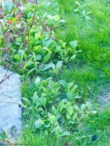 Gartenjahr geht zu Ende Borretsch im Rasen