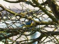 Blaumeise beim Nestbau