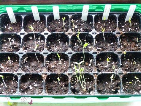 Tomaten säen Le Romaines Corianne Rebellion Rubin Pearl Ananas Fleischmtomate Heinz Tomate
