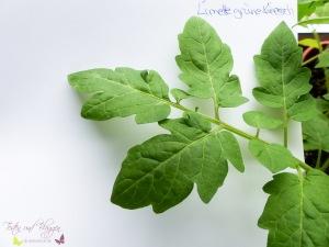 Blätter von Tomatensorten Vergleich Limetto F1 Tomate