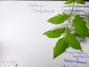 Blätter von Tomatensorten Vergleich Corianne Tomate