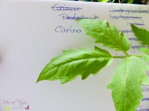 Blätter von Tomatensorten Vergleich Citrina Tomate