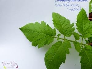 Blätter von Tomatensorten Vergleich Mini San Marzano Tomate