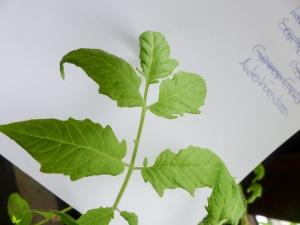 Blätter von Tomatensorten Vergleich Andenhörnchen Tomate