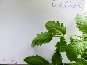 Blätter von Tomatensorten Vergleich Le Romaines Tomate