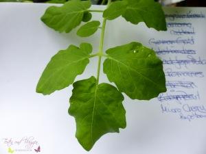 Blätter von Tomatensorten Vergleich Micro Cherry Tomate