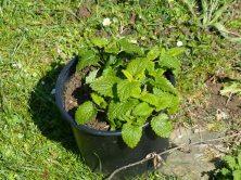 Garten Update Pfefferminze im Topf Zitronenmelisse im Topf Zuckerwurzel Wildkräuter Genuss 2. Jahr