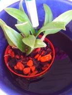 Bayer Orchideen Dünger Blühpflanzen Dünger