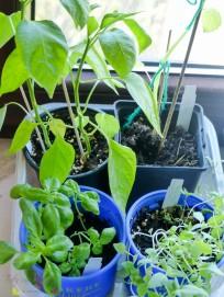 Sähen und Pflanzen Basilikum Paprika