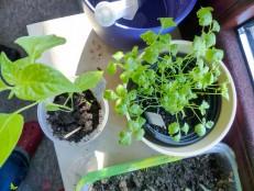 Sähen und Pflanzen Schnittsellerie Paprika