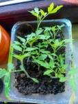 Sähen und Pflanzen Tomate Tigeralla