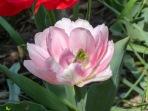 Tulpen Mix Carpet of Color