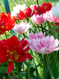 Tulpen Mix Carpet of Color