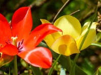 Wildtulpen Mix