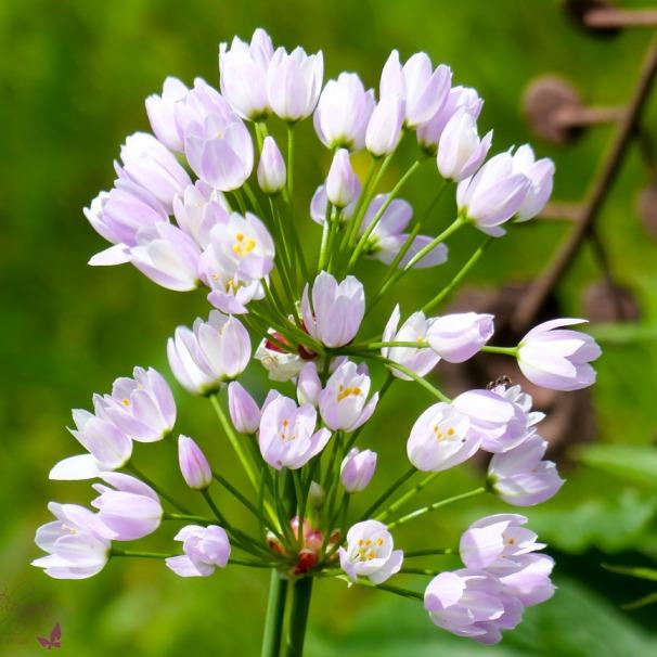 Blumenzwiebel Lauch Zierlauch