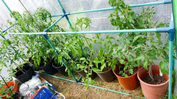 Tomaten über Tomaten 13 Tomatensorten