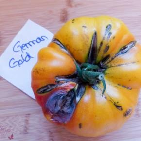Tomatensorte: German Gold