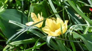 Blütenpracht trotz Wintereinbruch Wildtulpen