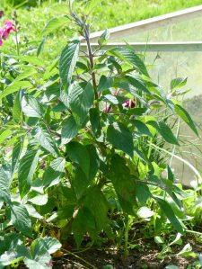 Gartenrundgang Teil 3 - von Blumen und Vögel und Raupen und Fliegen Ananassalbei