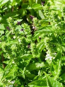 Gartenrundgang Teil 2 - von gesäten Blumen und Kräutern und Gemüse Basilikum