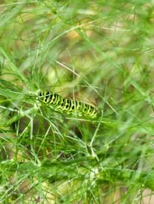Gartenrundgang Teil 3 - von Blumen und Vögel und Raupen und Fliegen Fenchel Schwalbenschwanzraupe