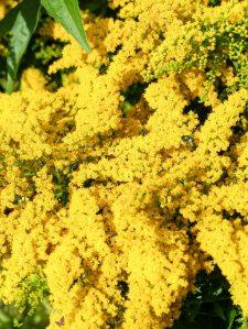 Gartenrundgang Teil 3 - von Blumen und Vögel und Raupen und Fliegen Goldrute