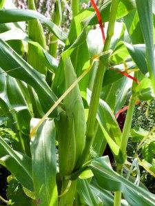 Gartenrundgang Teil 3 - von Blumen und Vögel und Raupen und Fliegen Mais