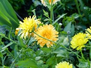 Gartenrundgang Teil 3 - von Blumen und Vögel und Raupen und Fliegen Ringelblumen