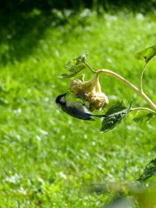 Gartenrundgang Teil 3 - von Blumen und Vögel und Raupen und Fliegen Sonnenblumen Vogelfutter