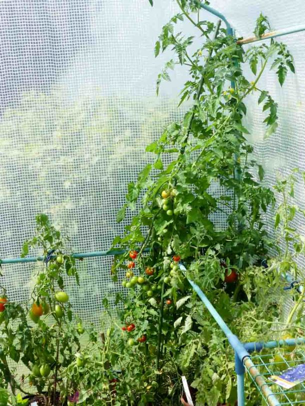 Gartenrundgang Teil 2 - von gesäten Blumen und Kräutern und Gemüse Tomate Zuckertraube
