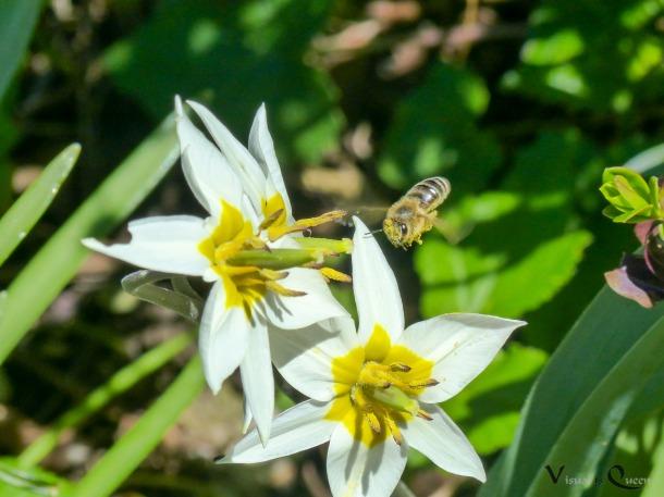 Kleine Biene mit Wildtulpe