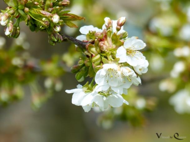 Bald gibt es sie wieder - die Kirschblüte