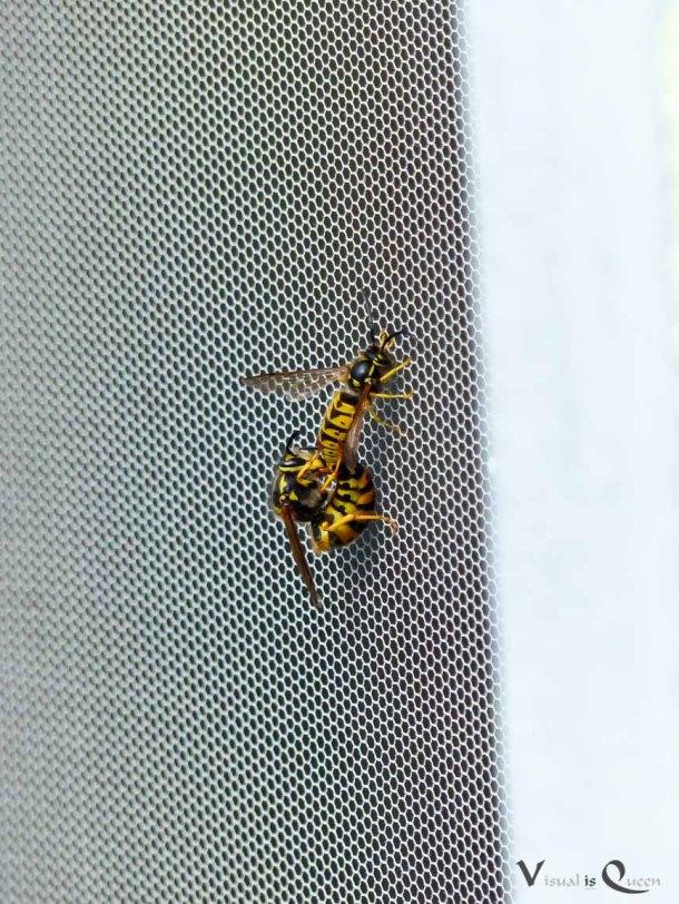 Wespen bei der Paarung