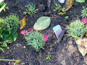 """Gartenpflanzen Bodendecker-Nelke """"Red Pillow"""