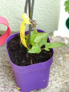 "Gartenpflanzen Clematis ""Taiga®"""