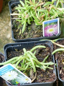 """Gartenpflanzen Winterharte Eisblumen """"Wheels of Wonder®"""""""