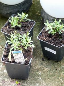 Gartenpflanzen Winterharter Bodendecker Iberis Schleifenblume 'Masterpiece®