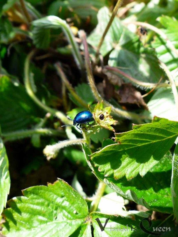 Kleiner Blauer Käfer