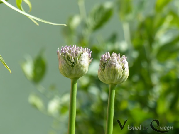 Zierlauch-Blüte fast geschlossen