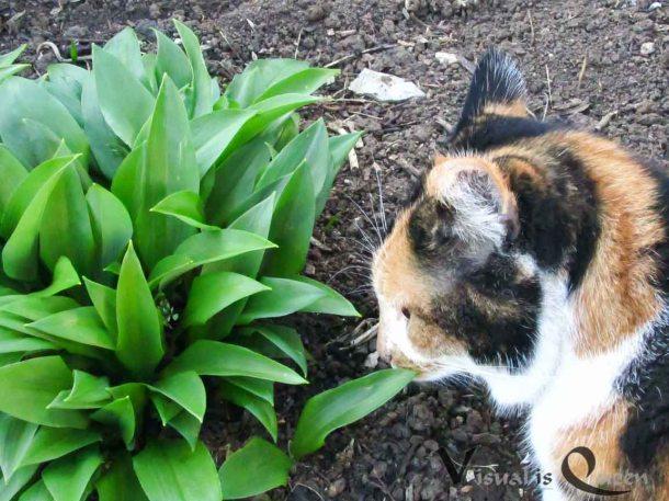 Katze Mit Bärlauch