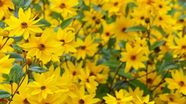 Blühendes Topinambur