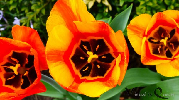 Orange-Rote Tulpen