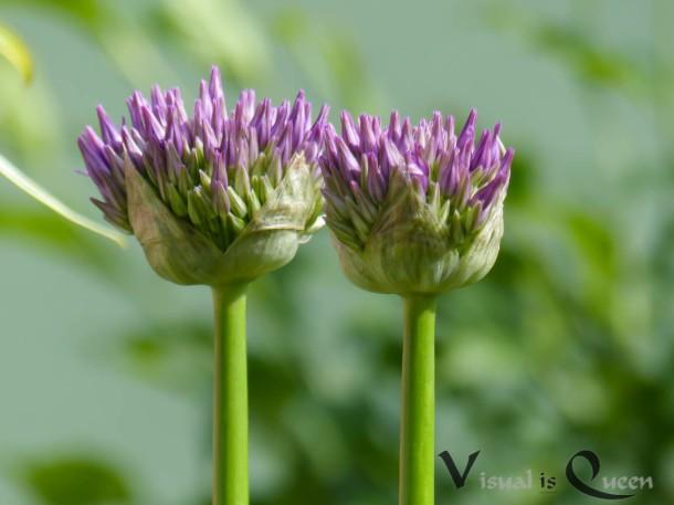 Aufgehende Zierlauch-Blüte
